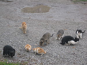 English: Herd (clowder) of Cats Српски / Srpsk...