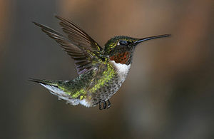 English: Ruby-throated hummingbird in flight