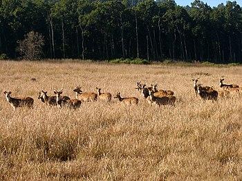 Spotted deer group in Jim Corbett national par...