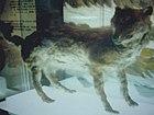 エゾオオカミ剥製・開拓記念館19840914.jpg