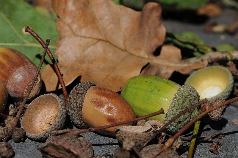 File:Acorns of Quercus robur, Eichel der Stieleiche 17.JPG