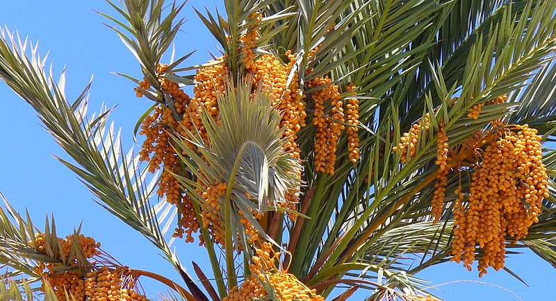 File:Dahab Egypt Phoenix dactylifera.JPG