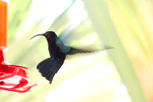 Purple-throated Carib hummingbird (Eulampis ju...