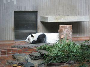 Ling Ling, the Ueno Zoo's Panda Bear.