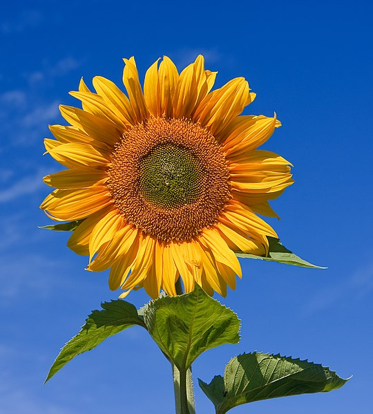 Berkas:Sunflower sky backdrop.jpg