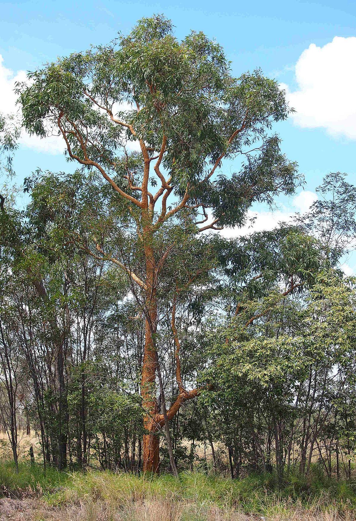 Eucalyptus Similis Wikipedia