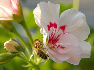 Bee on pelargonium (cropped from 3000x2000 image)