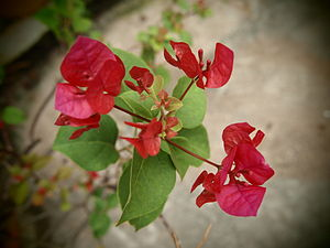 English: bougainvillea red