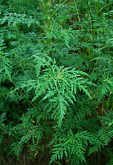 Image result for common ragweed