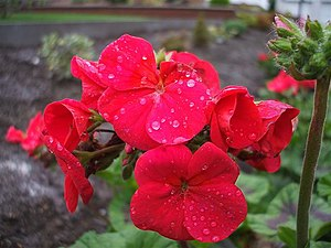English: Geraniums, Omagh Still in bloom along...