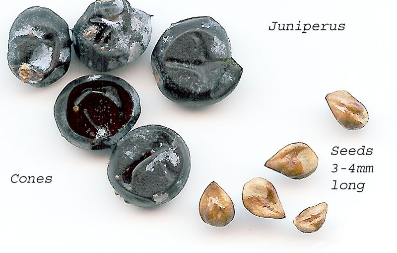 File:Juniperseeds.jpg