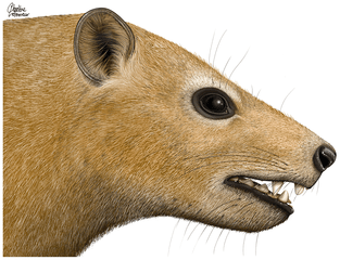 El género Ocepeia pertenece a los Condilartros