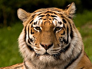 Panthera tigris altaica, Zoo English: Siberian...