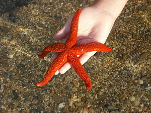 English: A Starfish from the Aegean See