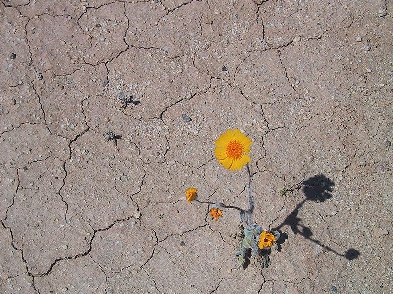 File:Desertflower.JPG