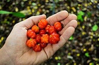 Frutos da pitangueira