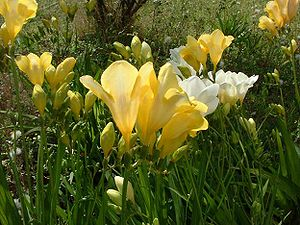 Freesia ×hybrida Freesias Photo by Jean Tosti ...