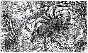 An old image; a big spider (known as a bird-ea...