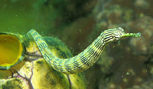 https://i1.wp.com/upload.wikimedia.org/wikipedia/commons/thumb/4/42/PipeFish.jpg/300px-PipeFish.jpg