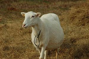 A pregnant St. Croix ewe in South Carolina.