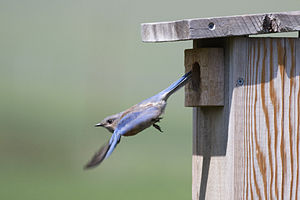 A pair of Western Bluebirds (Sialia mexicana) ...