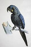 Anodorhynchus glaucus.jpg
