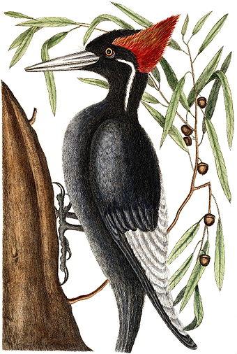 welcome ivorybilled woodpecker - HD807×1200