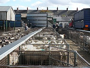 English: Counting sheep at Newport Cattle Mark...