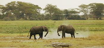 Italiano: Elefanti africani in lotta al parco ...