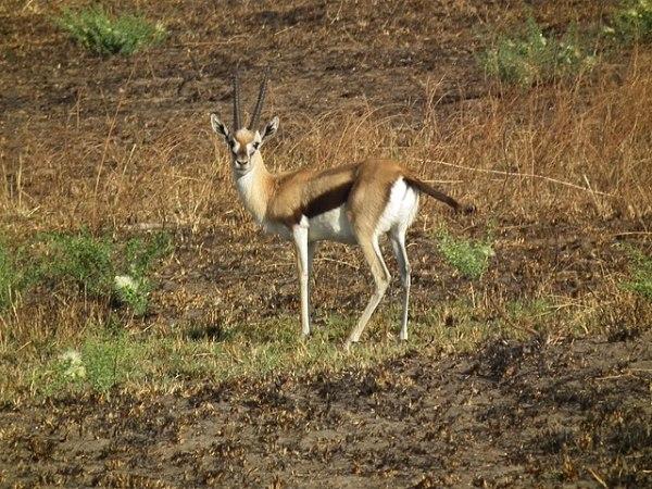 File:Gazella thomsonii Thomsons Gazelle in Tanzania 2637 ...