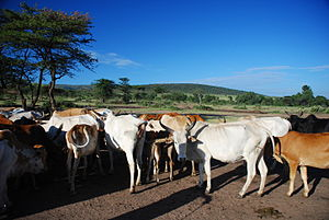 Cows of the Maasai, Masai Mara in Kenya. Scar ...