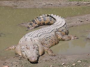 Saltwater Crocodile (Crocodylus porosus).