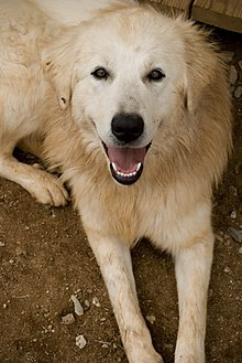 TalkMaremma Sheepdog Wikipedia