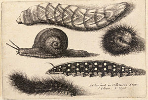 Wenceslas Hollar - Four caterpillars and a sna...
