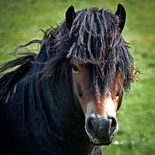 Exmoor Cheval Wikipdia