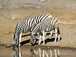 English: Damara Zebras (Equus quagga burchelli...