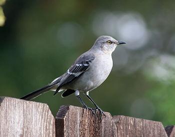 Northern Mockingbird (Mimus polyglottos) taken...