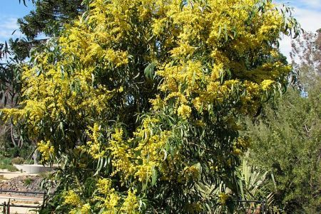 Australian acacia tree with yellow ball shaped flowers flowers australian trees acacia trees wattle trees free stock photos rgbstock free stock images aussie gold aussie gold green yellow ball shaped flowers from mightylinksfo