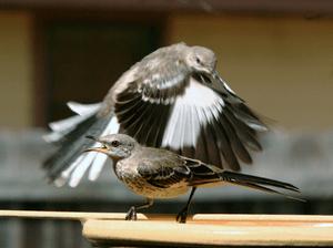 English: Two Northern Mockingbirds at a bird b...