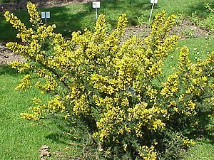 Species: Ulex europaeus Family: Fabaceae Image...