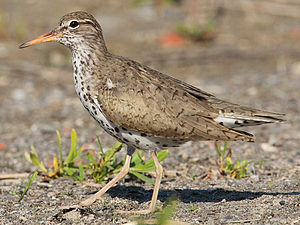 Spotted Sandpiper , winter visitor