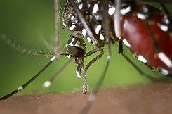 tantarul -Aedes albopictus- vectorul raspandirii virusului West Nile