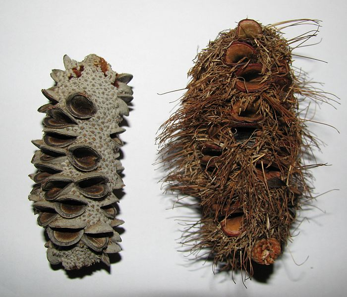 File:Banksia integrifolia and marginata cones.jpg