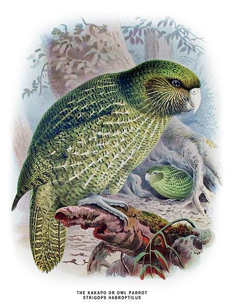 File:Buller Kakapo.jpg
