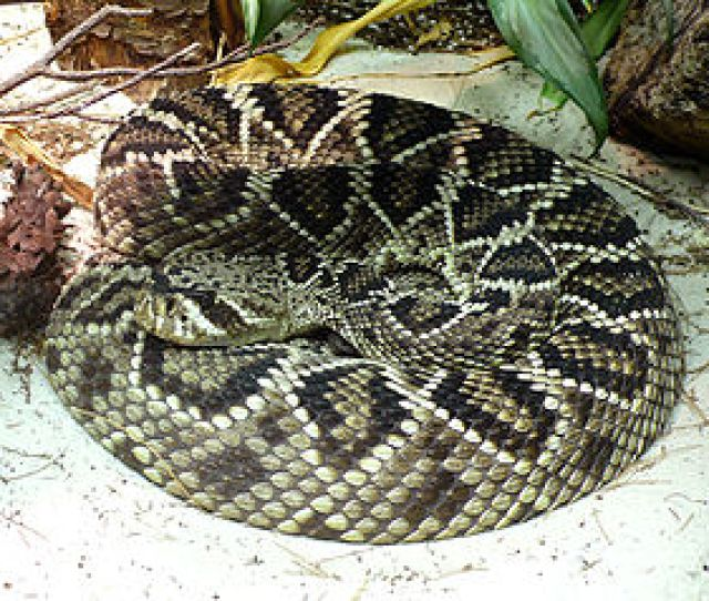 The Eastern Diamondback Rattlesnake Crotalus Adamanteus Kills The Most People In The Us With The Western Diamondback Rattlesnake Crotalus Atrox Ranking