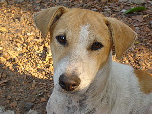 English: Close up of common street dog at Howrah.
