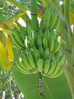 English: Musa sp. (banana tree)