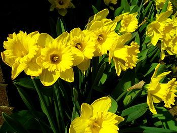 Picture of a Daffodill, scientifically referre...