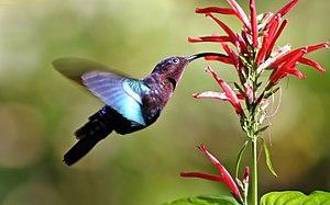 Purple-throated Carib hummingbird feeding phot...