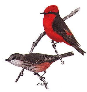 Vermilion Flycatcher, Pyrocephalus rubinus, ma...